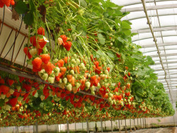 Особенности выращивание земляники Викода