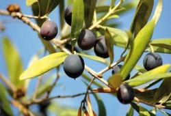 Особенности выращивания оливкового дерева