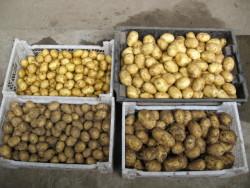 Подготовка семенного картофеля