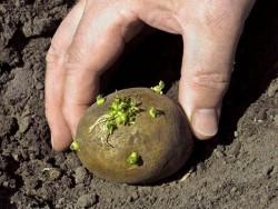 Получение высококачественных семян картофеля