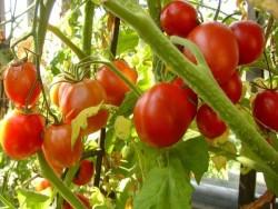 Помидоры проблемы созревания плодов