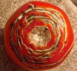 Помидоры трещины на плодах