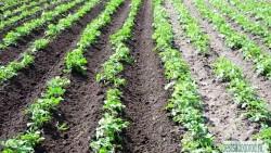 Посадка картофеля. Плотность посадки картофеля