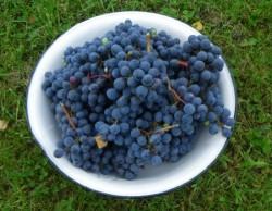 Посадка винограда в Подмосковье