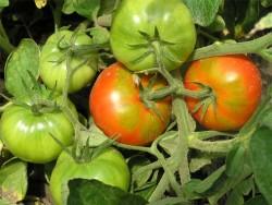 Появление жёлтых пятен на недозрелых томатах