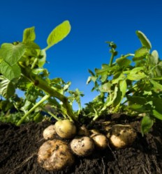 Применение регулятора роста на картофеле