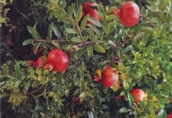 Размножение граната семенами и черенкованием