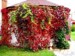 Разновидности девичьего винограда