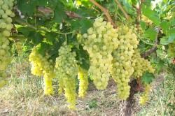 Роль элементов в виноградном растении