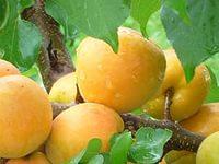 Сорта абрикоса устойчивые к монолиозу