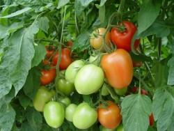 Сорта кистевых томатов