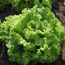 Советы по выращиванию салата