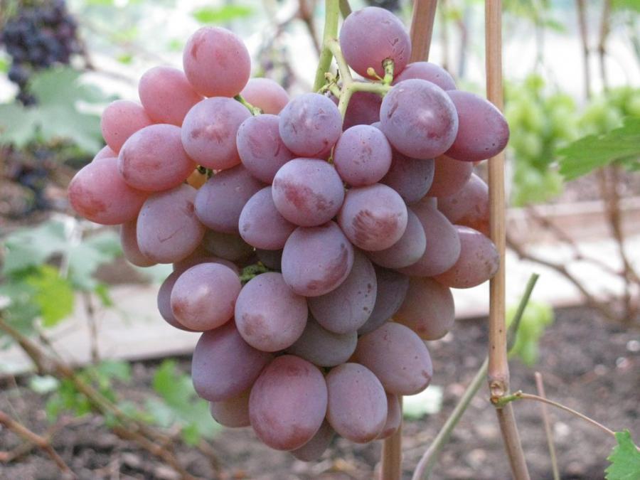 Виноград  и названия