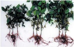 Влияние минеральных удобрений и инокулаяции семян на симбиотическую активность и урожайность
