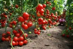 Время собирать урожай помидоров