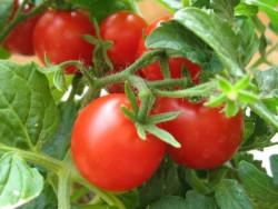Выращиваем томаты под специальными лампами