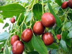 Выращивание и полезные свойства зизифуса