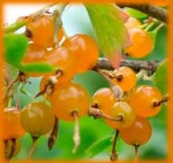 Выращивание и польза золотистой смородины