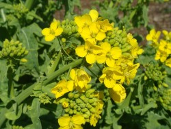 Выращивание и удобрение озимого рапса