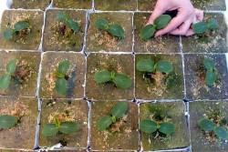 Выращивание огурца на семена