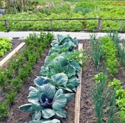 Выращивание овощей и растений в совмещенных посадках