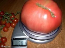 Выращивание помидоров дома