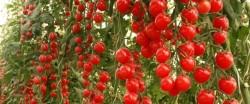 Выращивание томатов в помещении