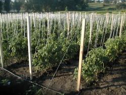 Выращивание томатов в закрытом грунте