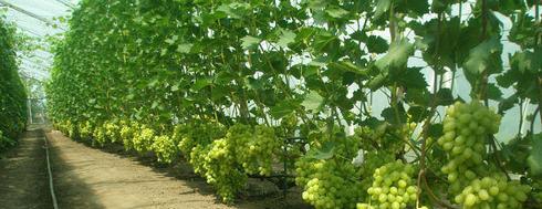 Выращивание винограда оквэд 14