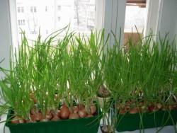 Выращивание зелени на подоконнике в домашних условиях