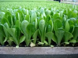 Выращивания салата из рассады