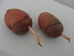 Яровизация картофеля