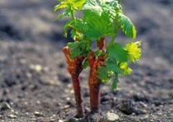 Зачем нужна прививка в виноградарстве