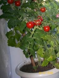 Зимние томаты