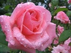 Окулировка является лучшим способом размножения роз