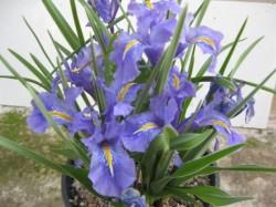 Период цветения ирисов