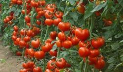 Дополнительное питание для томатов