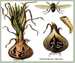Как защитить лук и чеснок от луковой мухи