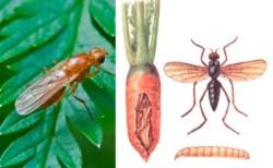 Морковная муха - борьба