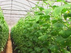 Необычное выращивание огурца