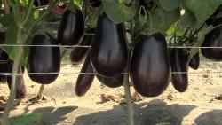Баклажаны, ошибки при выращивании