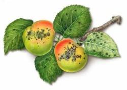Борьба с паршой (груши, яблони)