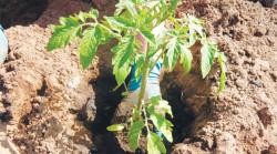 Что нельзя делать при выращивании рассады помидор