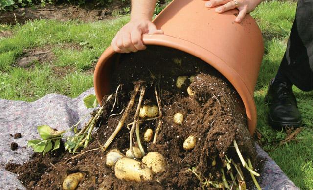 Можно ли сажать картофель в 40