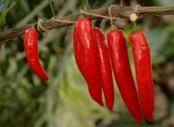 Как правильно вырастить горький перец