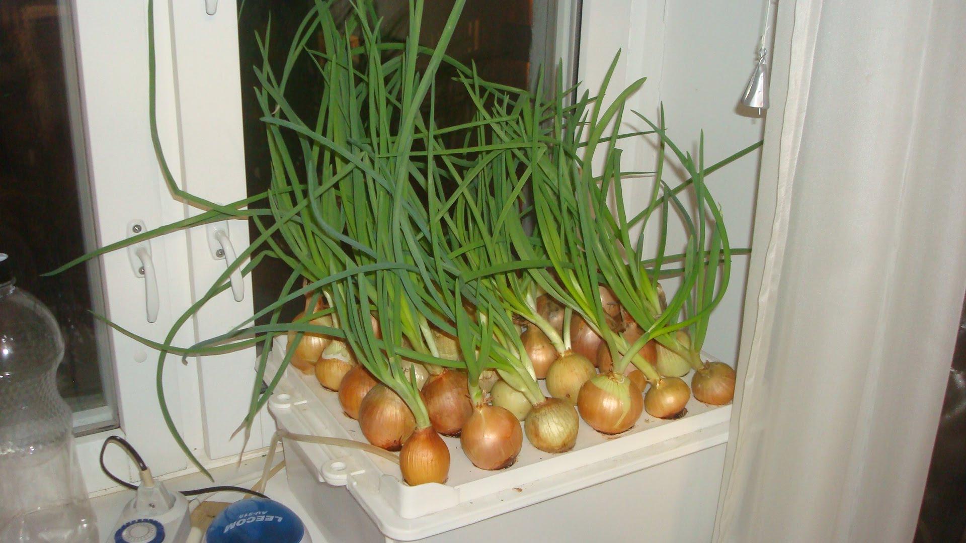 Вырастить лук из семян в домашних условиях
