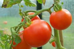 Как ускорить созревание помидоров на кусте