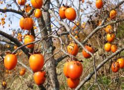 Как вырастить абрикосы из косточек