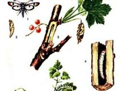 Как защитить смородину от вредителей и болезней