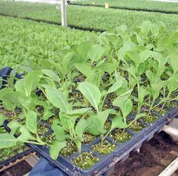 Какие сорта пекинской капусты выбрать для посадки на участке
